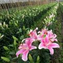 Kỹ thuật trồng và chăm sóc hoa ly ngay tại nhà