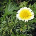 Cách trồng hoa cúc ngay tại nhà